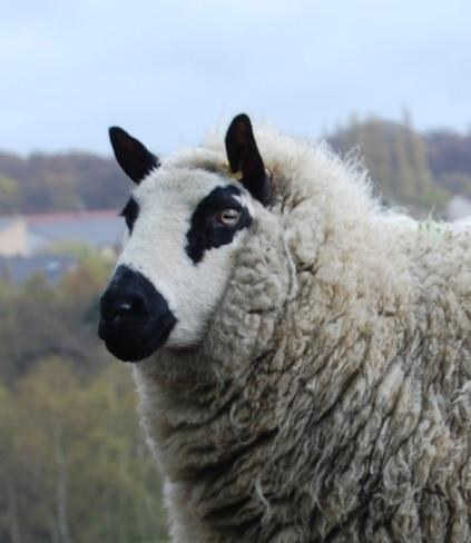 Kerry Hill Sheep Temperament, Characteristics, Weight, Wool Quality