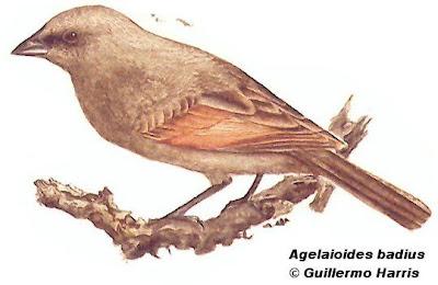 Tordo músico Agelaioides badius