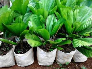 harga jual palm kol paling murah
