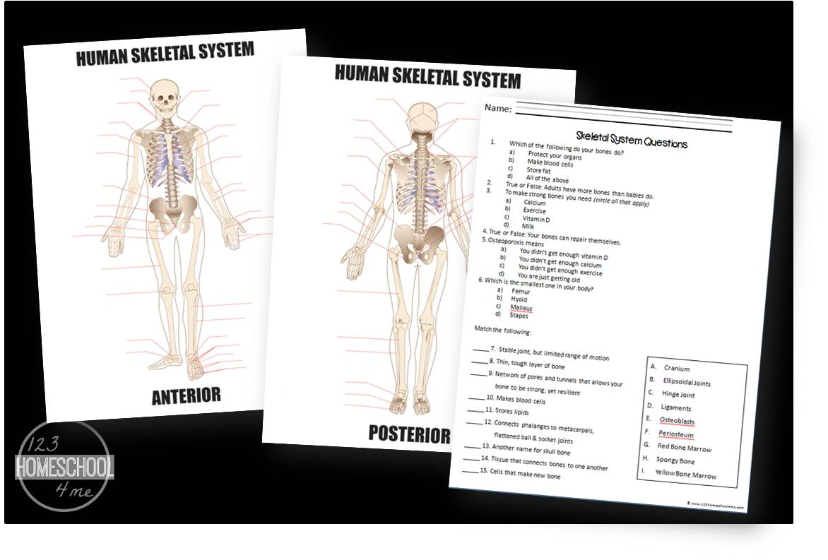 skeletal sytstem worksheets for kids are part of a human body for kids unit - Skeletal System Worksheet