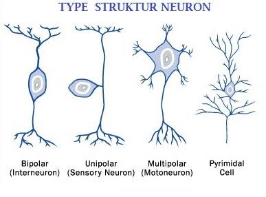 Klasifikasi Neuron berdasarkan bentuknya