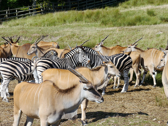 Common eland and zebras