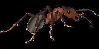 usaha dari budidaya semut Jepang