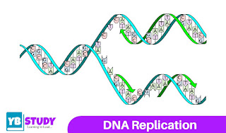 DNA Replication - Enzymes, Process an overview
