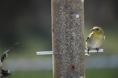 Photo of American Goldfinch on tube thistle feeder