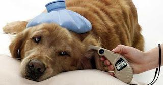 perro con fiebre y malestar general
