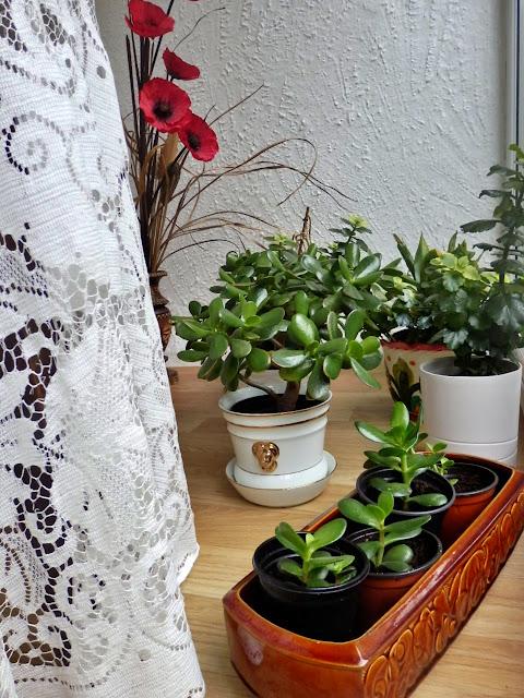 Jade Money Plants