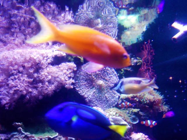 aquario com peixe azul e laranja