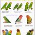 Jenis Jenis Lovebird berdasarkan Species