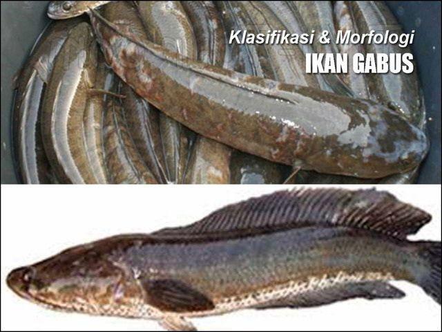 Gambar Ikan Gabus