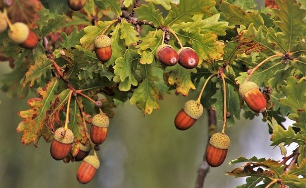 acorn-oak-tree-in-hindi