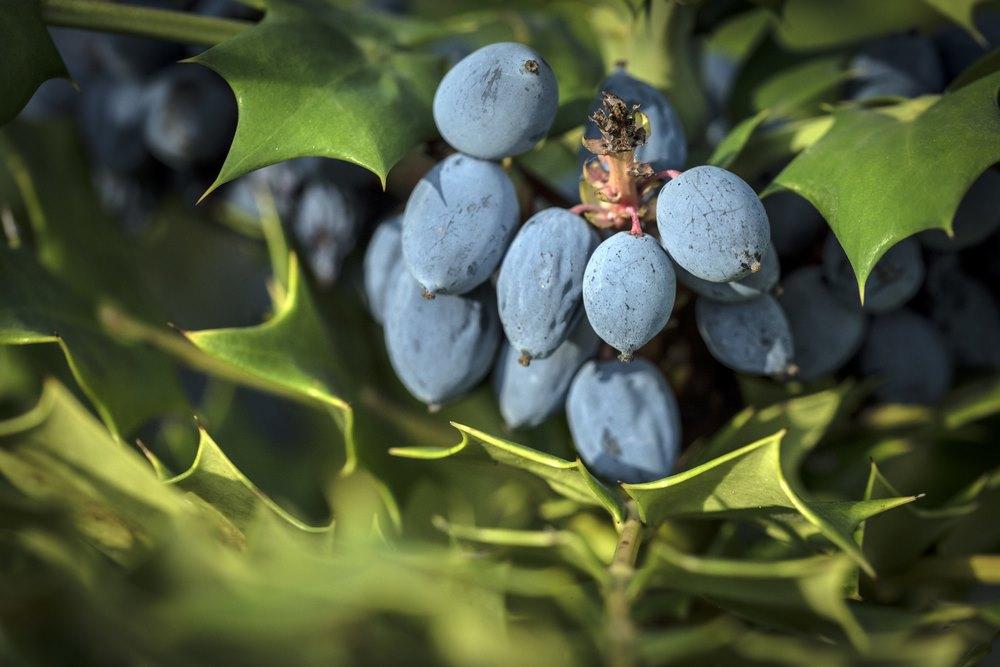 Frutos azules de Mahonia