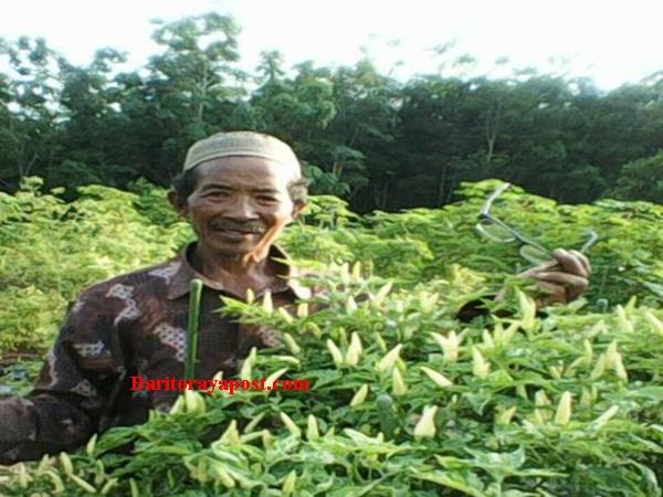 Kelompok Tani Sabar Subur Desa Trans-Siong Getol Budidaya Cabe Rawit