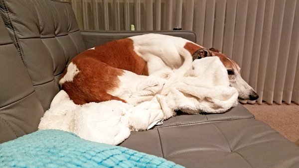 image of Dudley the Greyhound wrapped in a blanket on the sofa