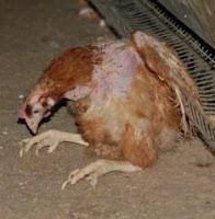 Informasi Telur: Ayam petelur yang lumpuh total
