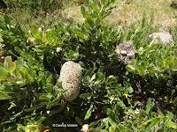 Saw banksia - Wellington Botanic Garden, New Zealand