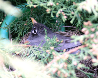 Focus on Life: Week 19: Hope: Robin's nest & babies :: All Pretty Things