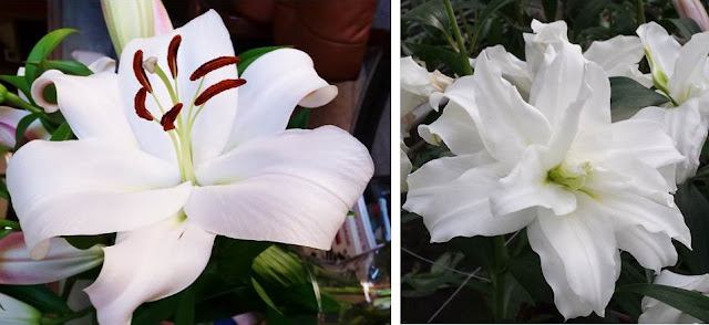 white holiday lily and roselily