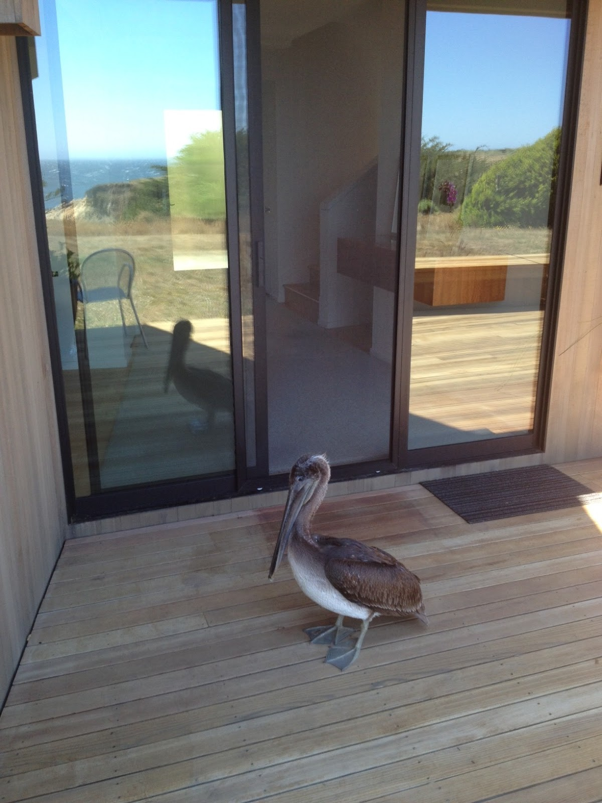Mendonoma Sightings Young Brown Pelican Pays A Visit To
