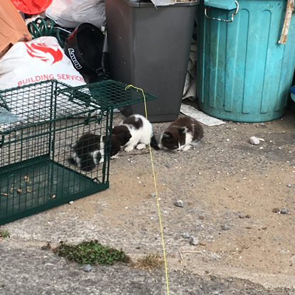 three black-and-white feral kittens next to a cat trap and in front of some bins
