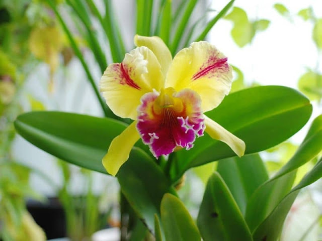 Bunga Anggrek Cattleya