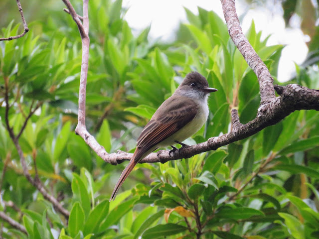 Costa Rica Birds - Brown-crested flycatcher