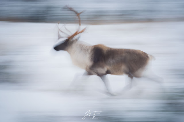 jérémie leblond-fontaine, photosolution, photo solution, magazine, photo, photographie, quebec, canada, caribou forestier, charlevoix, faune sauvage, wildlife
