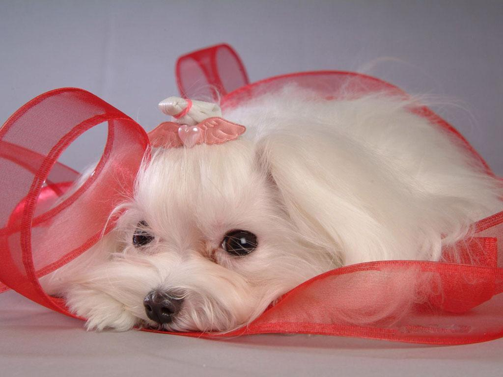 Cute Merry Christmas Wallpaper Dogs Maltese Wallpapers Pets Cute And Docile
