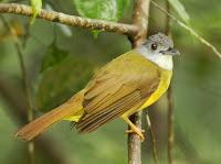 Burung Yellow-bellied Bulbul