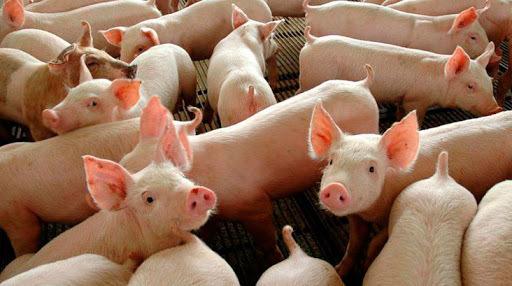 Pandemia reforça importância dos cuidados sanitários na produção animal