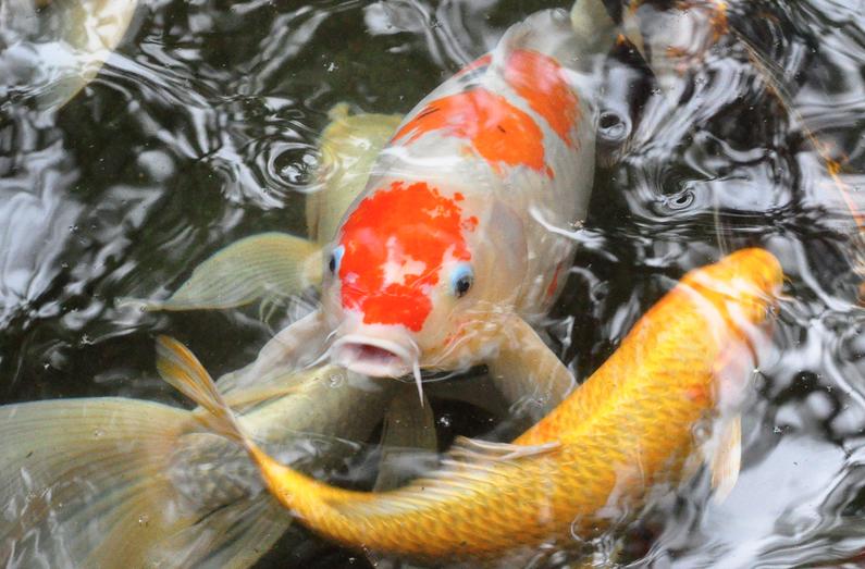 penyakit Aeromonas Hydrophila ikan koi