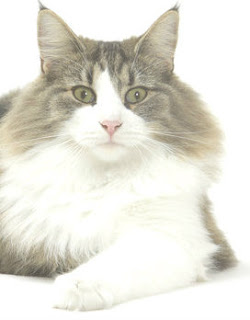 How Long Can A Cat Live With Toxoplasmosis