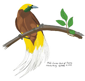 Gambar Burung Cendrawasih (Paradisaea minor). Burung Surga ini hidup di hutan hujan tropis Papua.