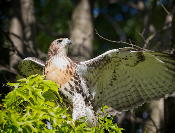 Tompkins Square red-tail fledgling 07