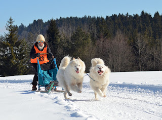 cara merawat anjing samoyed