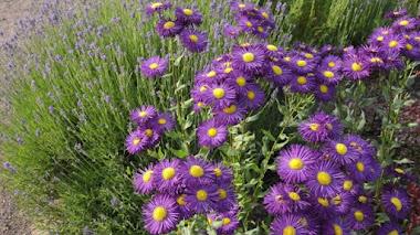 Erigeron, un género de plantas con mucho que ofrecer