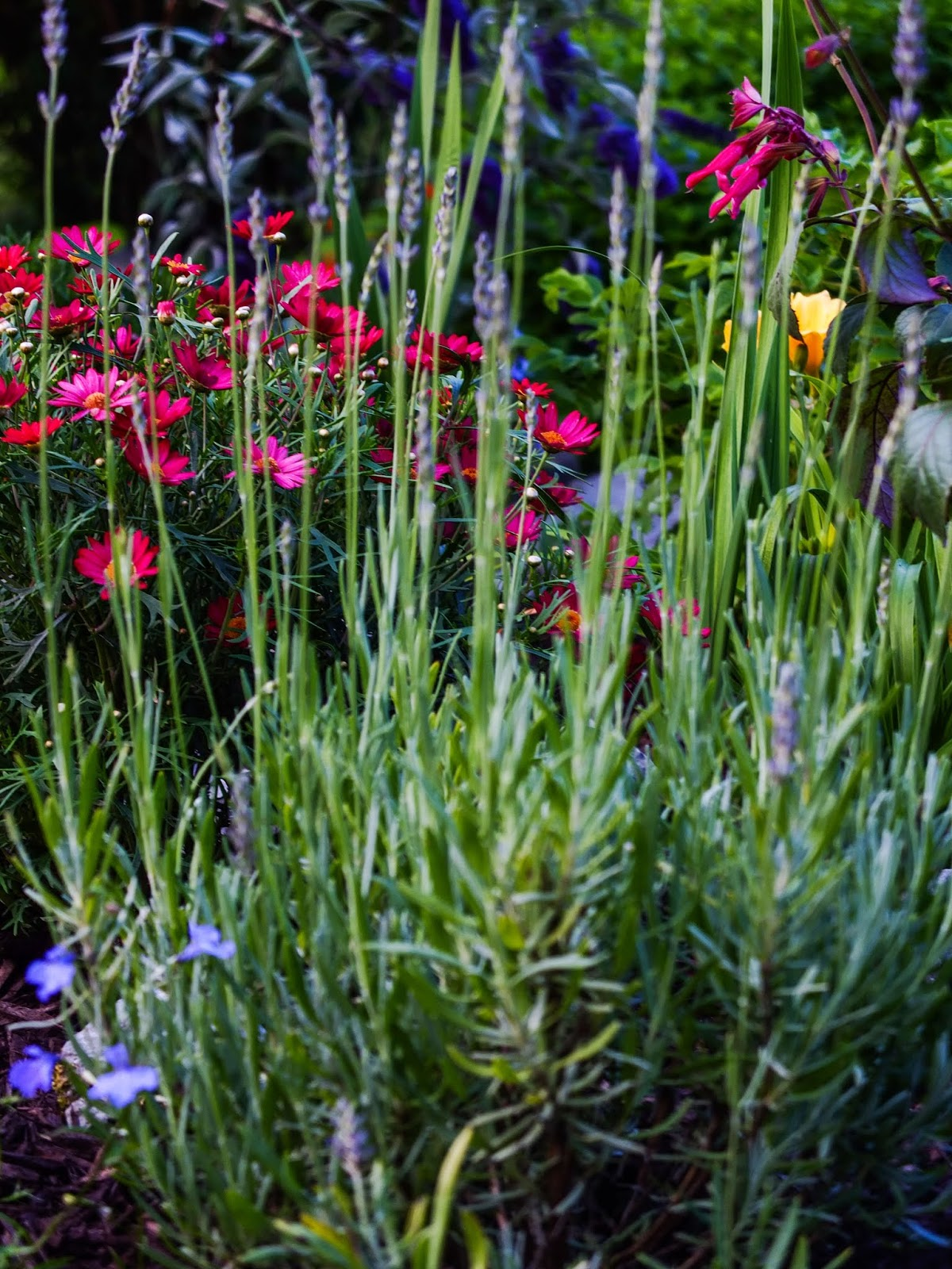 Lavender bush in the garden.