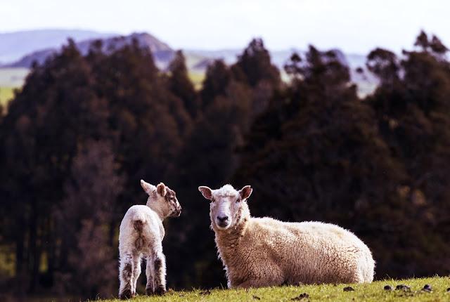 Lammfleisch neu entdeckt - Ein Hoch auf Slow Food und langsame Garmethoden
