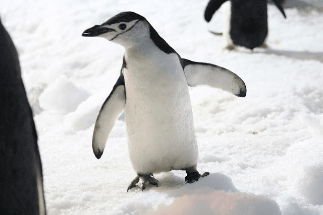 Pingüino barbijo bajaok