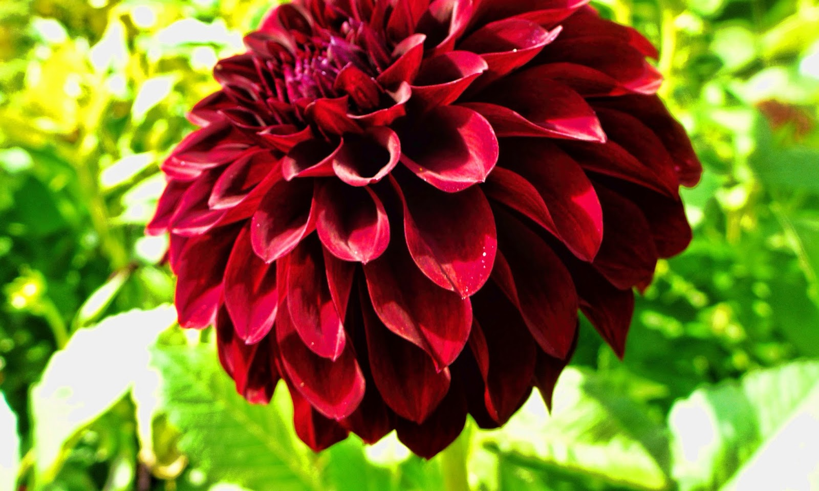 Dahlia Flower Dahlia Flower Hd Wallpapers Hd Wallpapers High