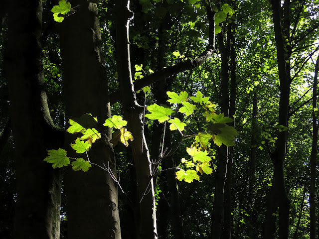 Light shining through leaves in a sycamore wood