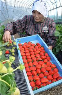 ももいちごの収穫開始!徳島県佐那河内村特産