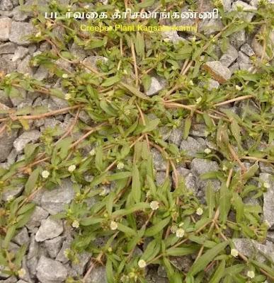 Creeper Plant Karisalankanni