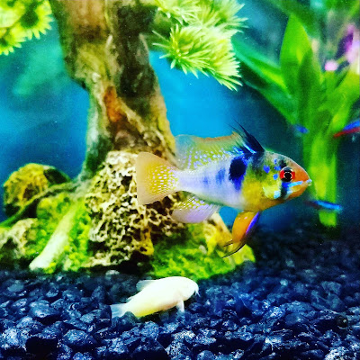German blue ram in a community freshwater tank