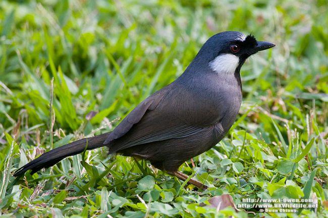 Suara Burung Poksay Sangat Merdu Hoby Fauna