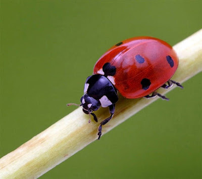 ladybug macro mobile resolution hd wallpaper