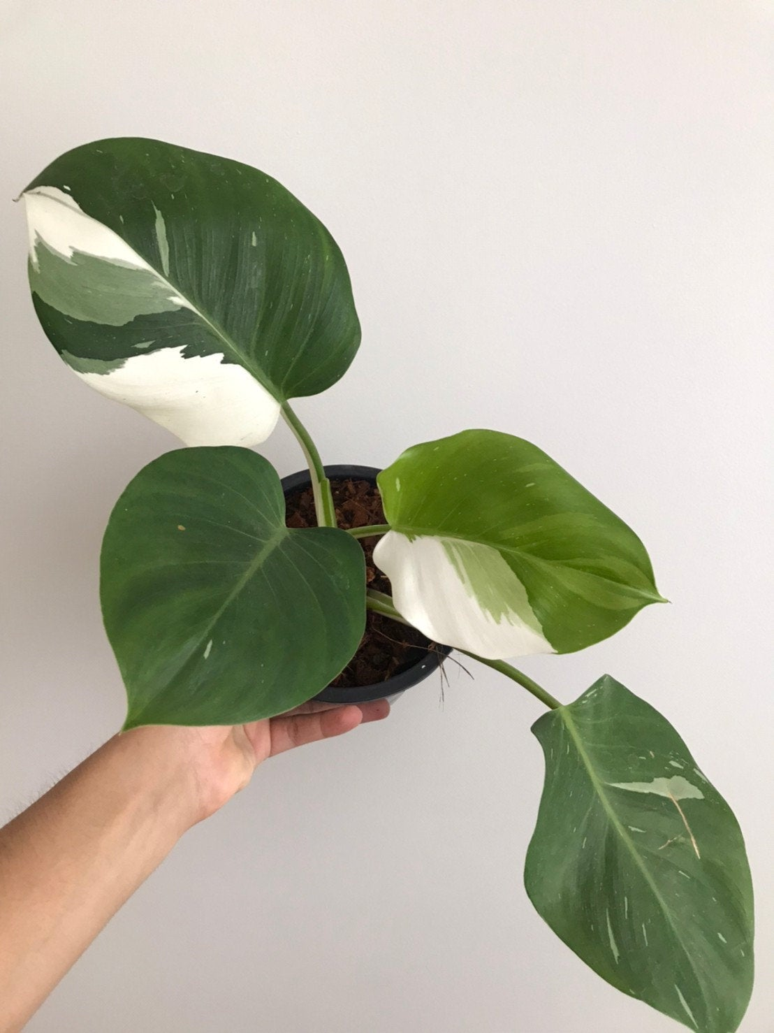 Arm holding up a more mature Philodendron White Wizard plant with four large leaves