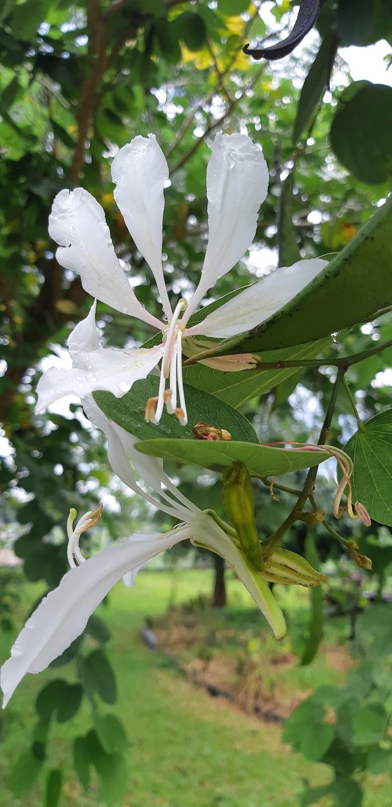 Pohon Daun Kupu Kupu Anggrek Hongkong Bauhinia Blakean Planter And Forester