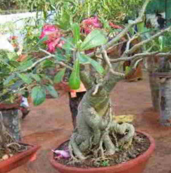 adenium bonsai
