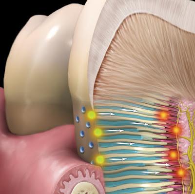 Mikroskopis Dentin